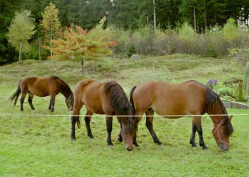 Huzulen auf Weide